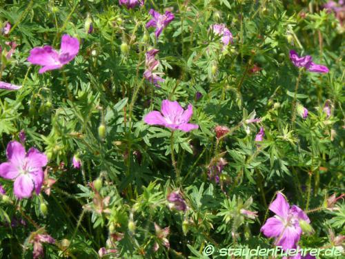 Bild Geranium sanguineum