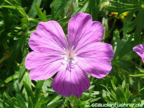 Image Geranium sanguineum