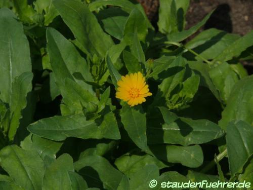 Bild Grindelia integrifolia
