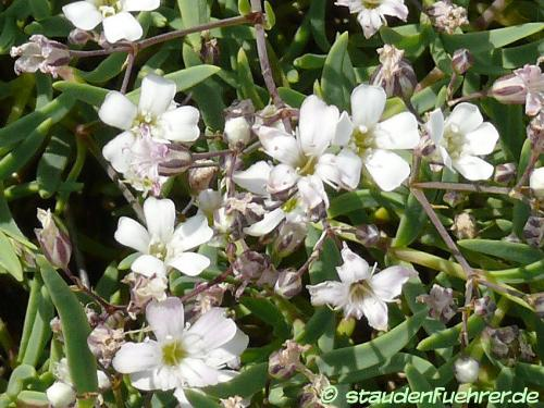 Bild Gypsophila repens