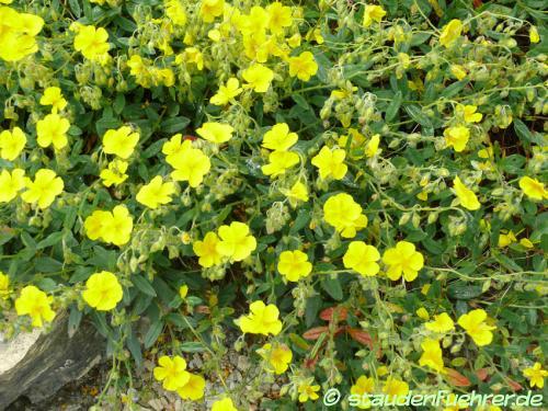 Bild Helianthemum nummularium ssp. grandiflorum
