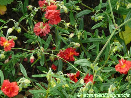 Bild Helianthemum Hybr. 'Rubin'