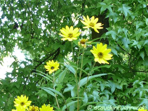 Image Helianthus grosseserratus