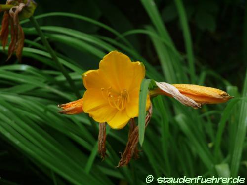 Bild Hemerocallis middendorfii