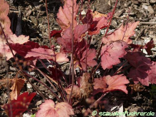 Bild Heuchera villosa 'Autumn Leaves'