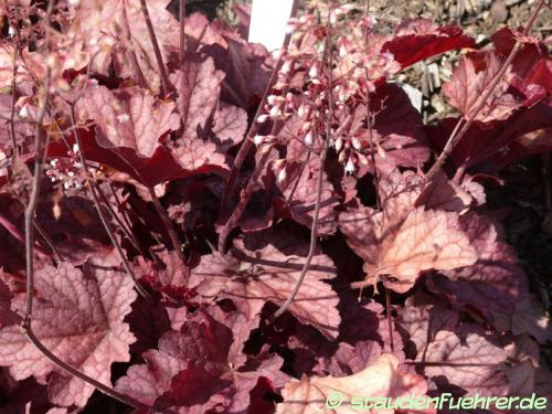 Bild Heuchera villosa 'Berry Smoothie'