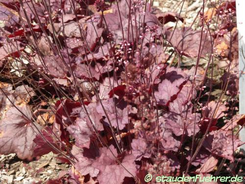 Bild Heuchera 'Georgia Plum'