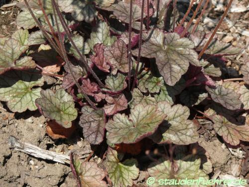 Bild Heuchera 'Prince of Silver'
