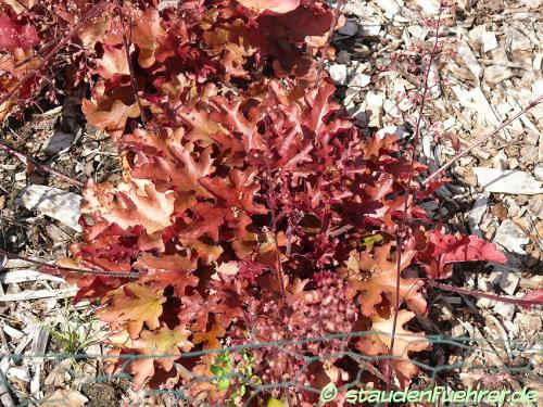 Bild Heuchera 'Red Fury'