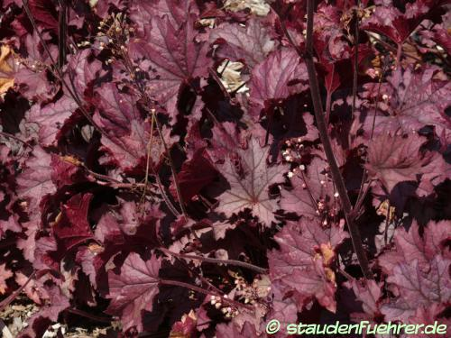 Bild Heuchera 'Sugar Berry'