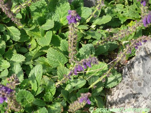 Bild Horminum pyrenaicum