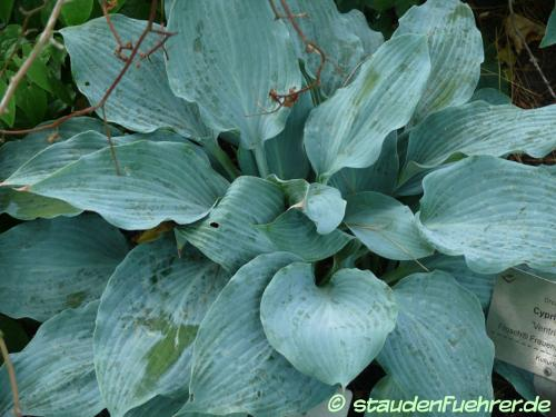 Bild Hosta 'Blue Wedgewood'