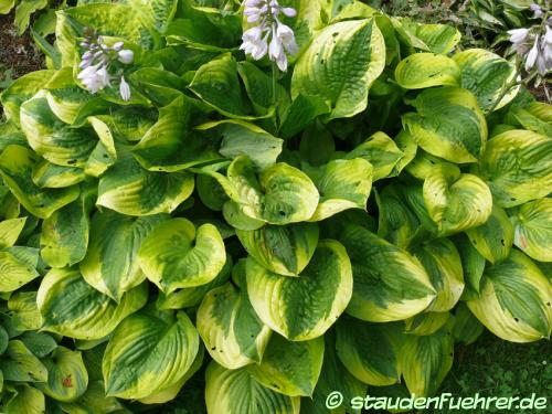 Bild Hosta 'Summer Breeze'