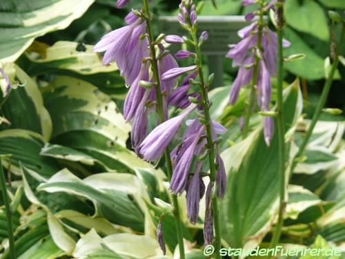 Bild Hosta 'Yellow Splash Rim'