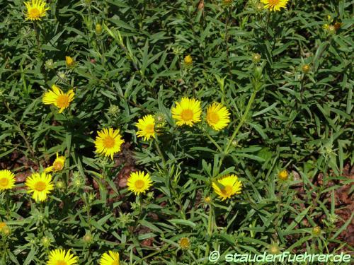 Image Inula ensifolia 'Compacta'