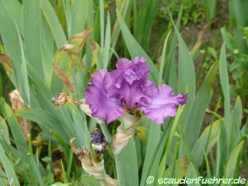 Bild Iris germanica Hybr. 'Raspberry Frills'