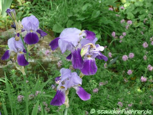 Bild Iris germanica Hybr. 'Rheintraube'