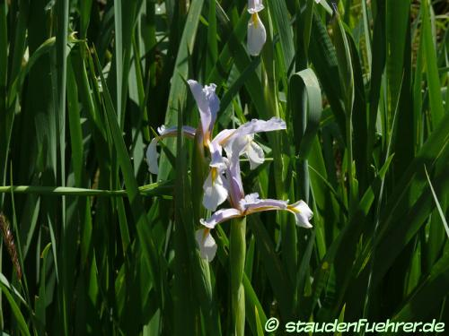 Bild Iris halophila