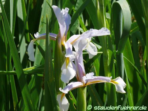 Image Iris halophila