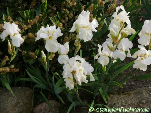 Bild Iris x barbata-elatior 'Cliffs of Dover'