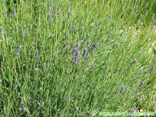 Bild Lavandula angustifolia