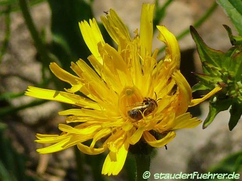 Bild Leontodon hispidus