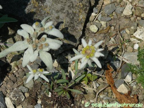 Bild Leontopodium alpinum