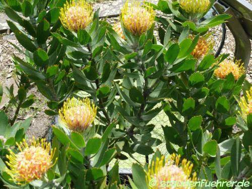 Bild Leucospermum conocarpodendron