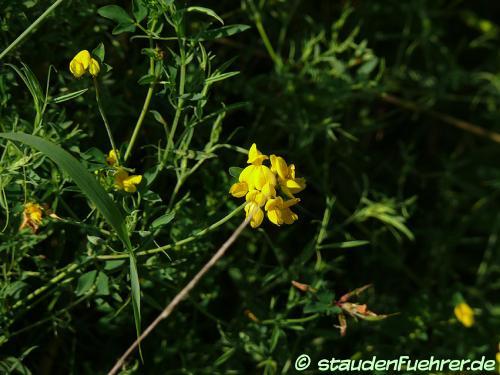 Bild Lotus corniculatus