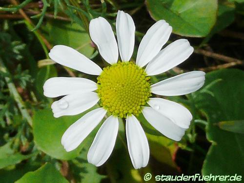 Bild Matricaria chamomilla