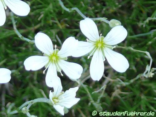 Bild Minuartia capillacea