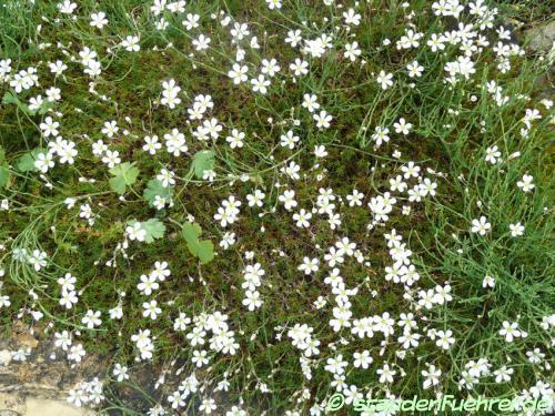 Image Minuartia laricifolia
