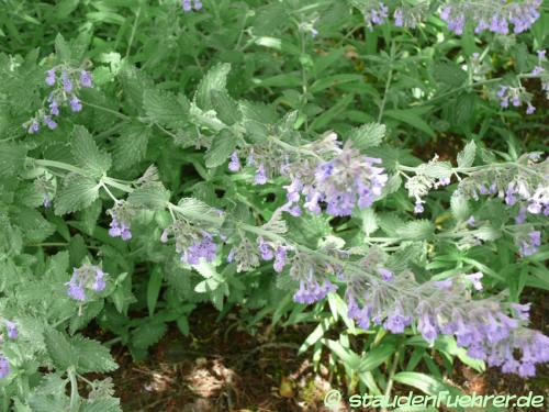 Bild Nepeta x faassenii 'Walkers Low'