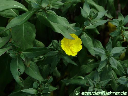 Bild Oenothera fruticosa