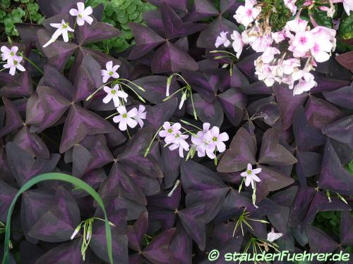 Bild Oxalis triangularis