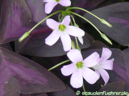 Image Oxalis triangularis