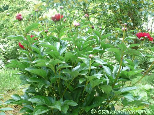 Bild Paeonia lactiflora 'Red Gigant'