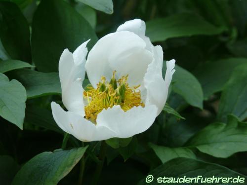 Bild Paeonia lactiflora