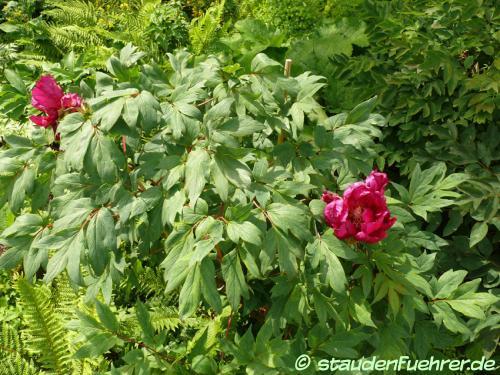 Bild Paeonia maroon