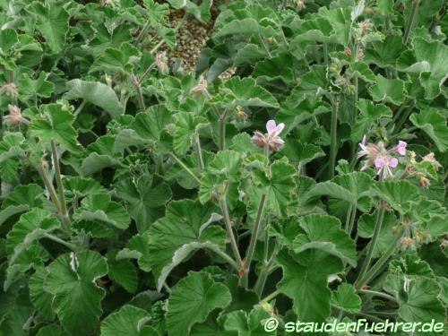 Bild Pelargonium cordifolium