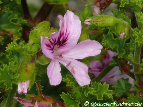 Bild Pelargonium crispum