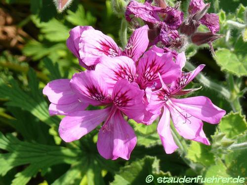 Image Pelargonium cucullatum