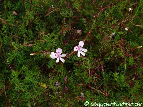 Bild Pelargonium diversifolium