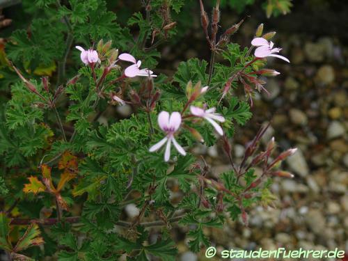 Bild Pelargonium fruticosum