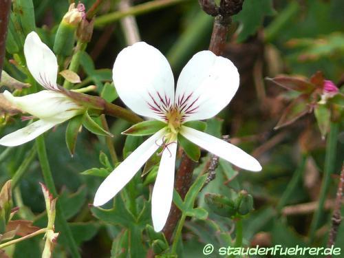 Bild Pelargonium oblongatum