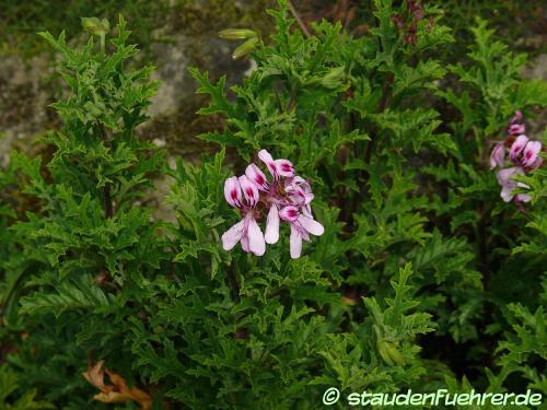 Bild Pelargonium pseudo glutinosum