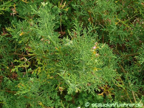 Bild Pelargonium radens