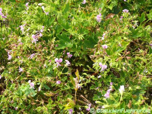 Bild Pelargonium sublignosum