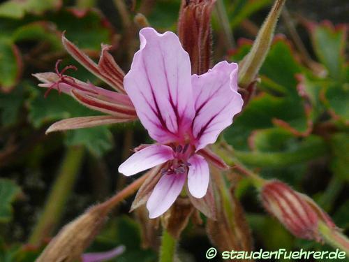 Bild Pelargonium suburbanum