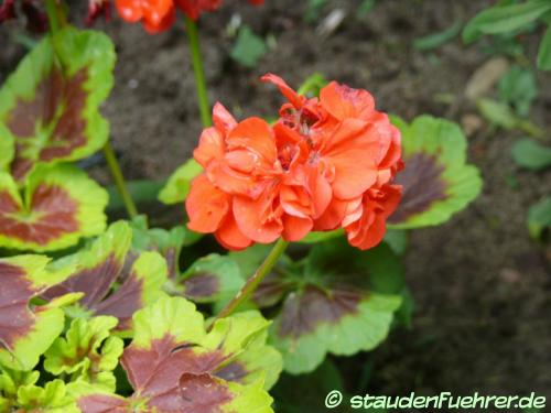 Image Pelargonium zonale